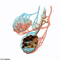 �gua Extravascular Pulmonar