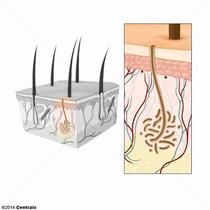 Glândulas Écrinas