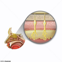 Membrana Mucosa