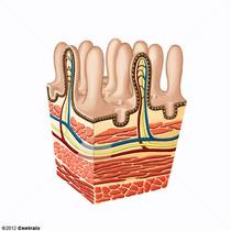 Mucosa Intestinal
