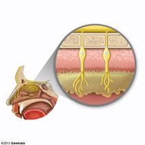 Mucosa Olfatória