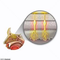 Neurônios Receptores Olfatórios